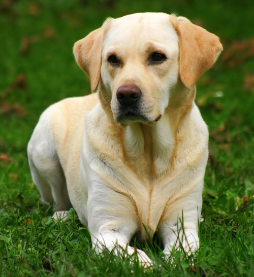 Labrador Retrievers Good Pets